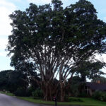 CK Tree Service - Delray, Boynton, Boca Raton, Tree Trimming, Tree Removal, Stump Grinding (23)